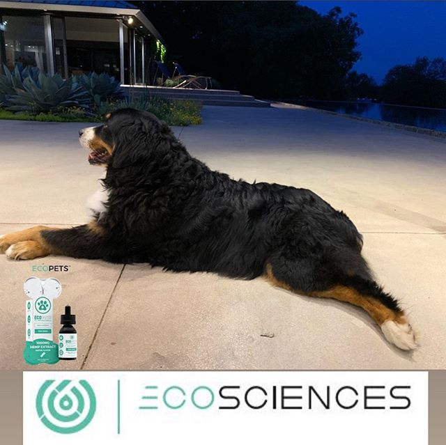 PSA: As I've expressed the goodness I've experienced with cbd for my pain management, my dog Shaka has a similar body as I... She's had 2 ACL surgeries with arthritic hips at the ripe age of 11.  I started putting some drops of #ecopets cbd from @ecosciencesco in her food, and shes happier, grunting less, and back to her eternal quest to catch that damn squirrel. #I️Shaka